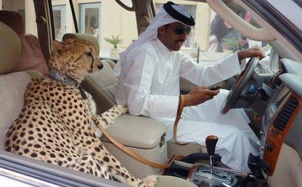 cheetah in dubai