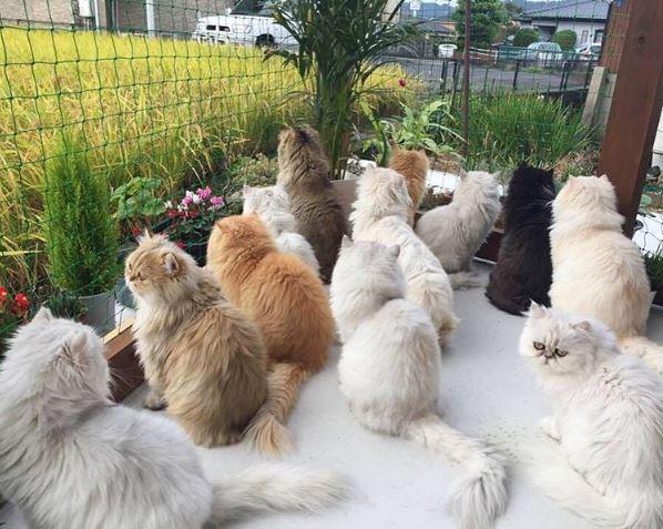 12 persian cats 8