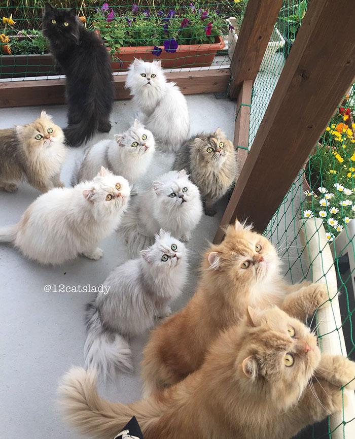 12 persian cats 7