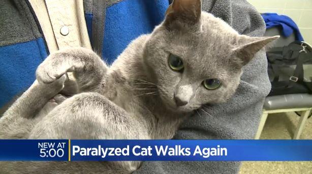 gray the paralyzed cat 5