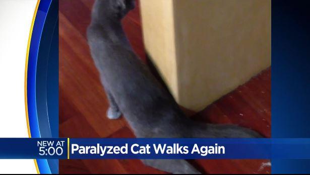 gray the paralyzed cat 4