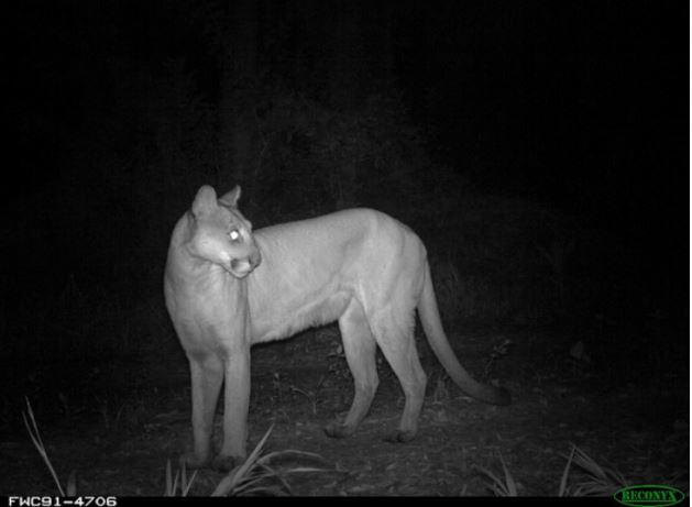 florida panther 4