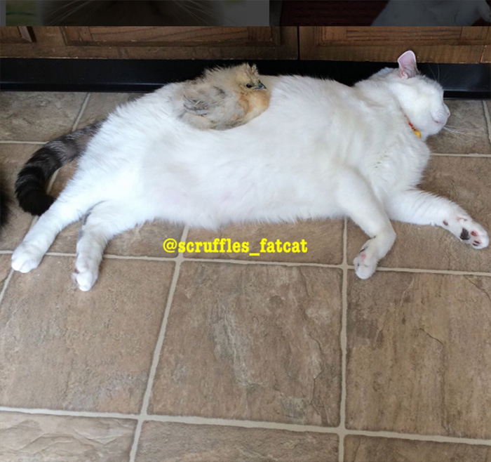 This Chubby Cat Has No Idea Why These Chickens Are In Love