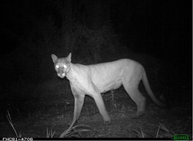 florida panther 3