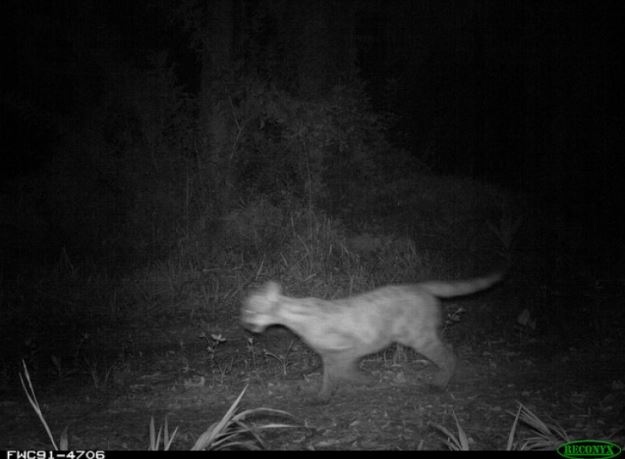 florida panther 5