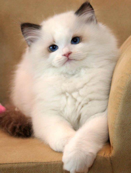 ragdoll cat 15