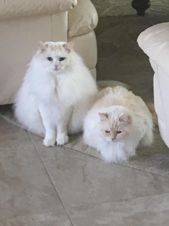 ragdoll cats 1