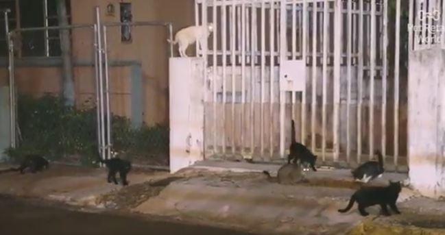 stray cats in puerto rico