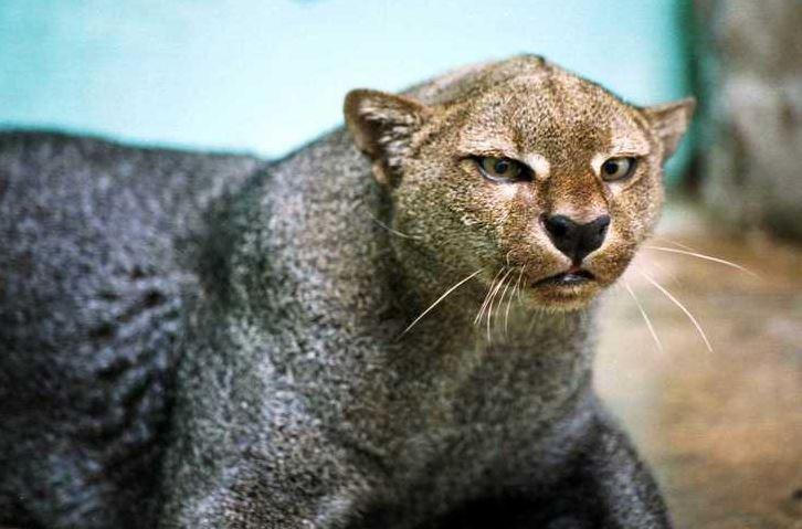 jaguarundi cat 7