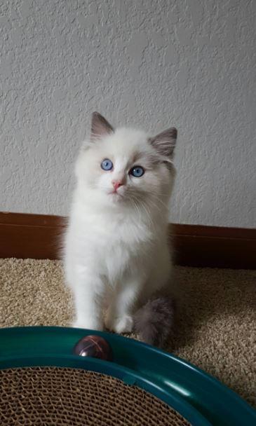 ragdoll cat 9