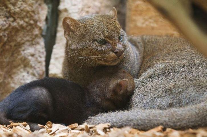 jaguarundi cat 3