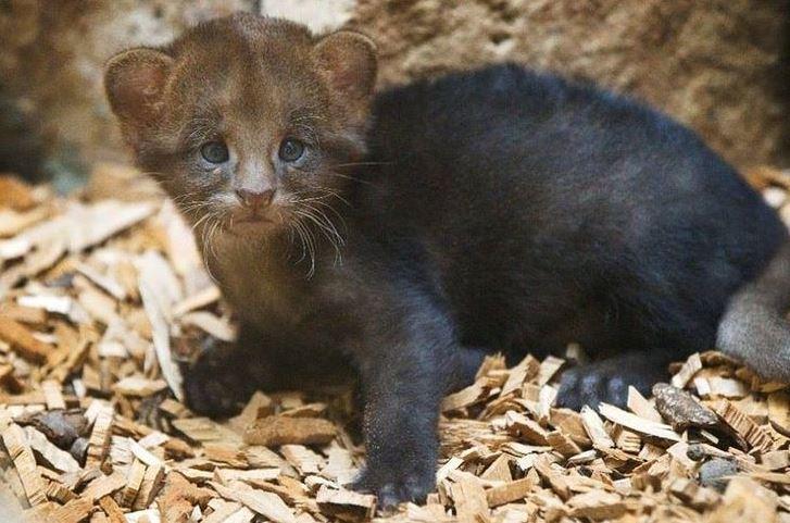 jaguarundi cat 1