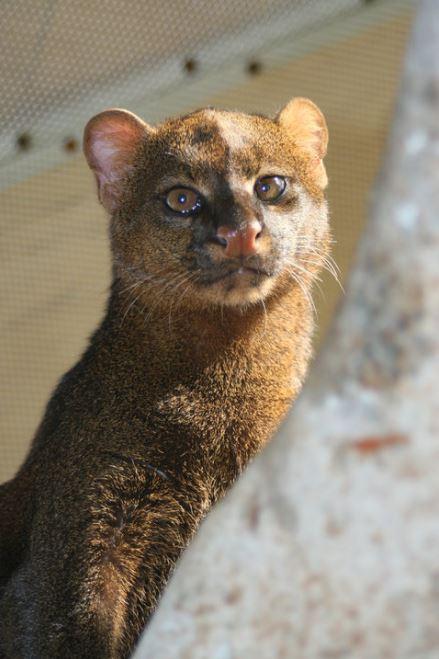 jaguarundi cat 6