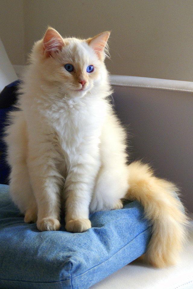 ragdoll cat 3
