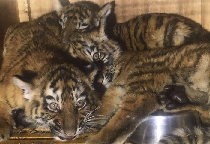 tiger cubs in box 3