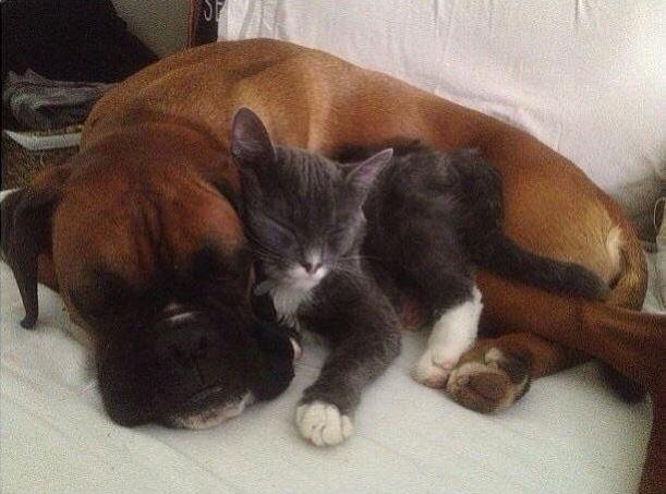 kitten and dog cuddling