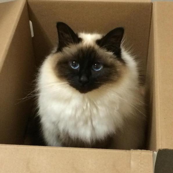 ragdoll cat 2