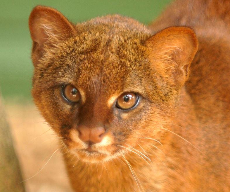 jaguarundi cat 2