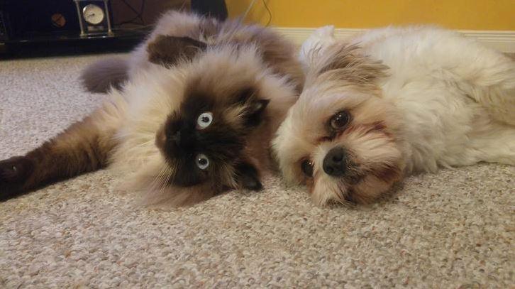ragdoll cats 14