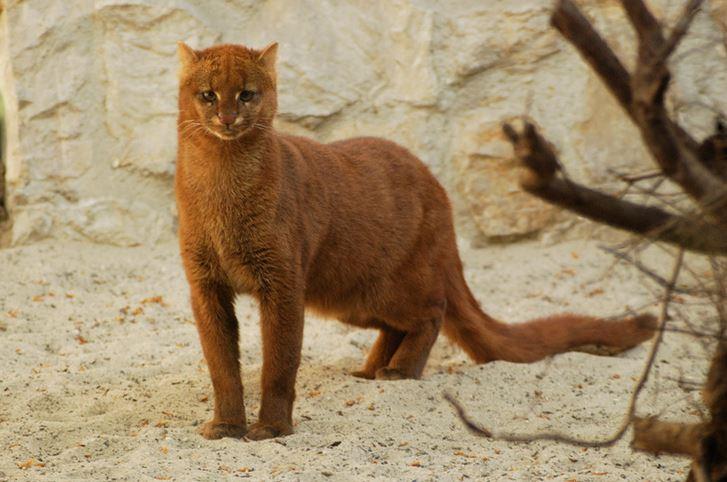jaguarundi cat 9