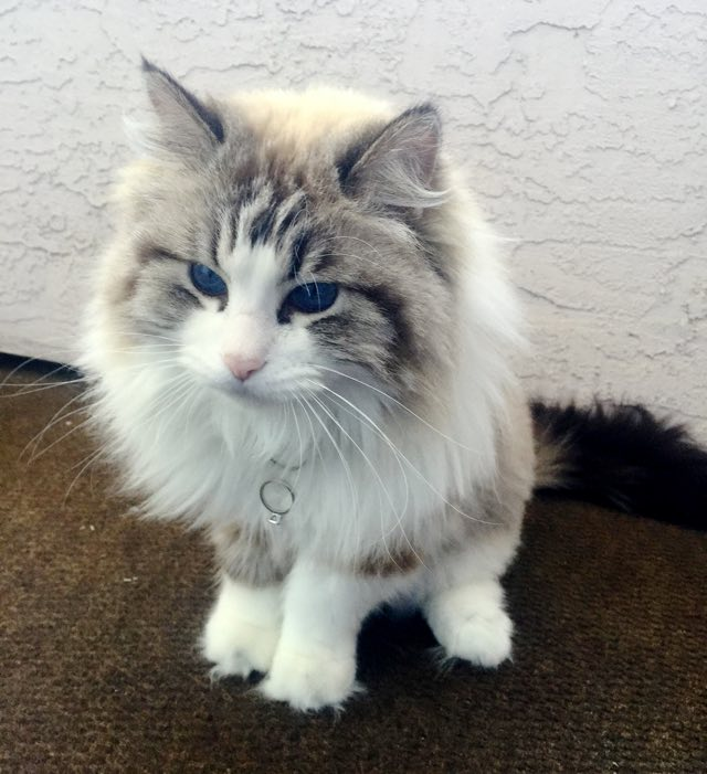 ragdoll cat 4