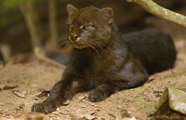 jaguarundi cat 4