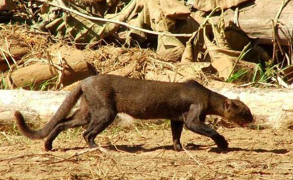 jaguarundi cat 5