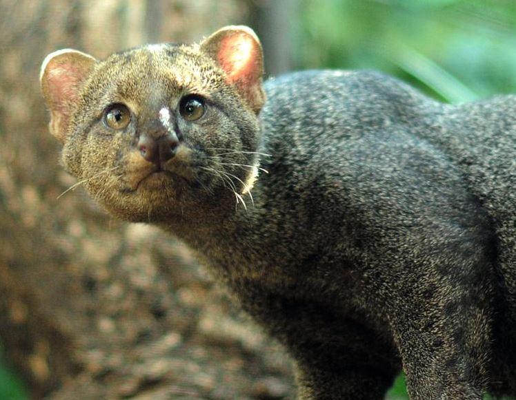 jaguarundi cat 8