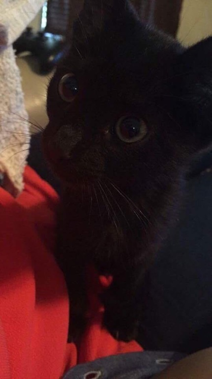 mini black panther kitten