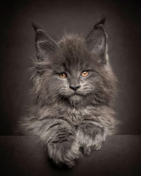majestic maine coon kitten grey