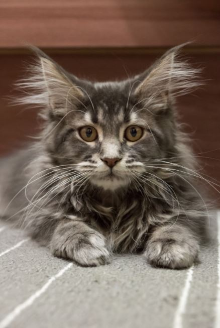 maine coon kitten grey and white fluff