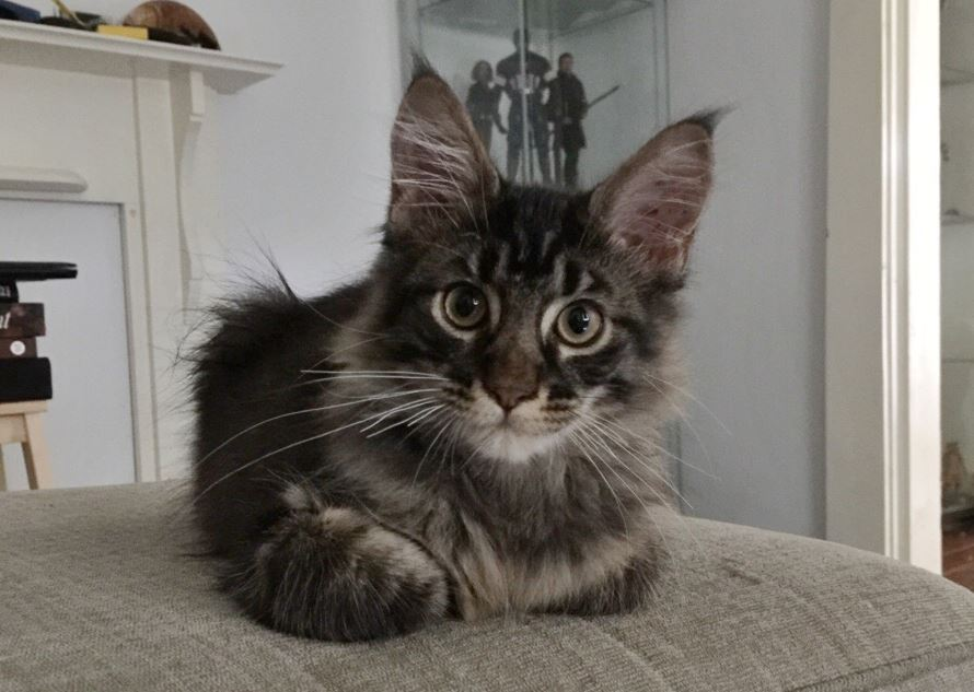 maine coon kitten cat loaf