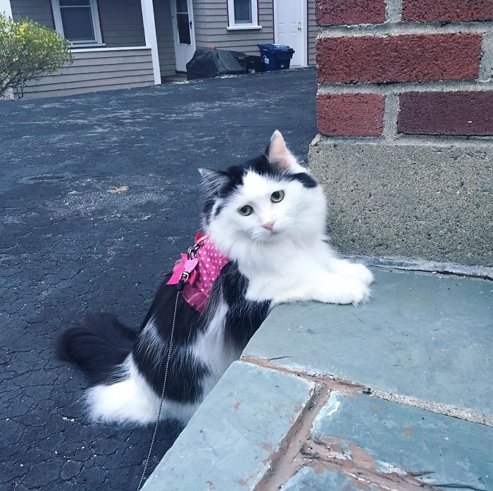 sophie the rescue cat on a walk