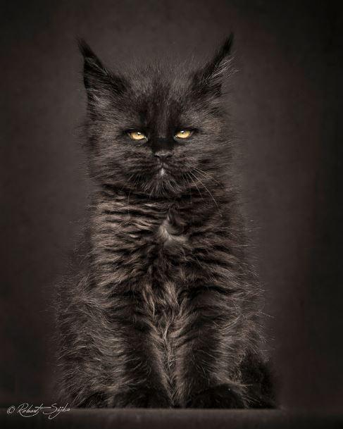 majestic maine coon kitten black