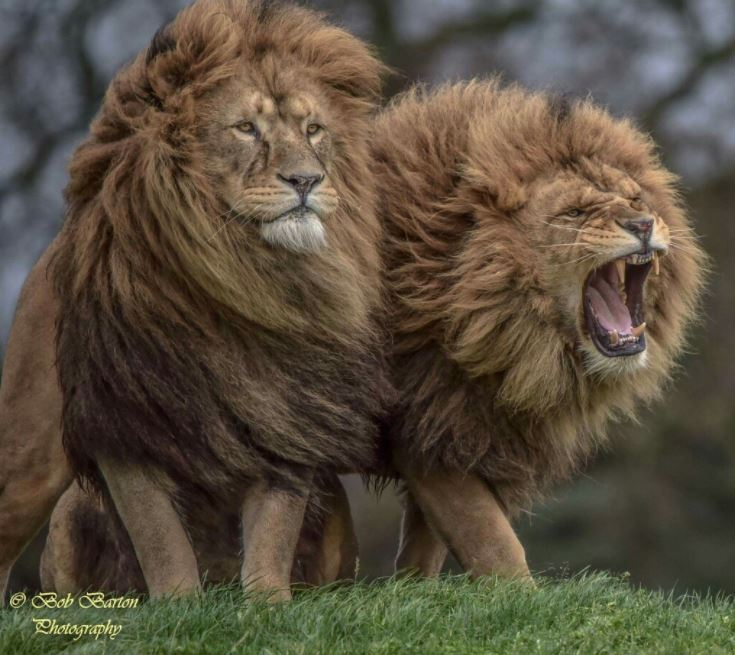 majestic lion brothers