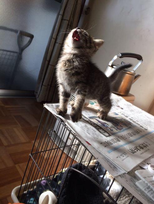 roaring kitten 1