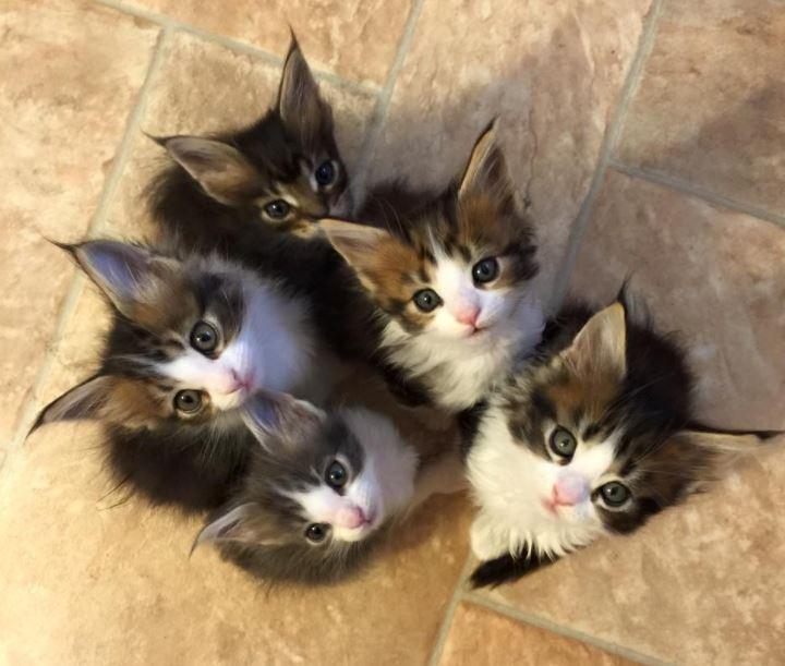 maine coon kittens litter of 5