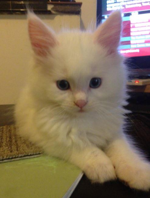 maine coon kitten teeny white