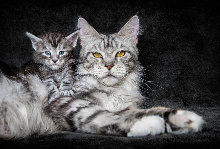 majestic maine coon kitten and mom