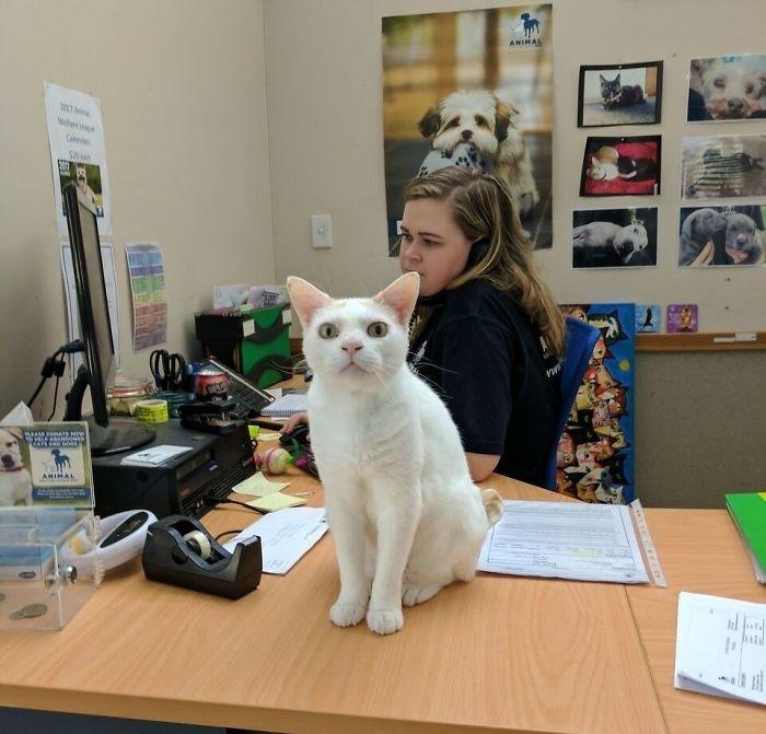 champas the shelter cat feline receptionist