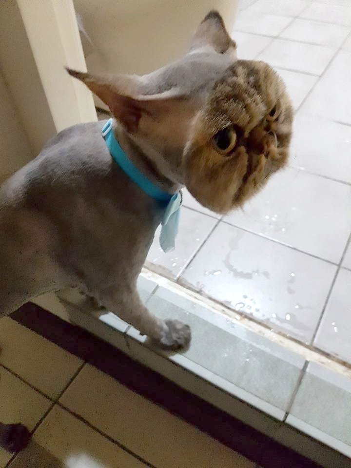 bad cat haircut 3