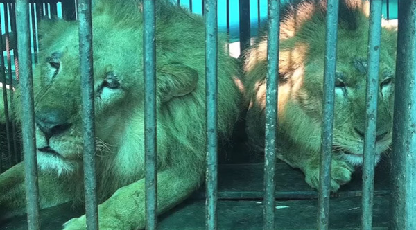 33 abused circus lions finally freed and get to go home