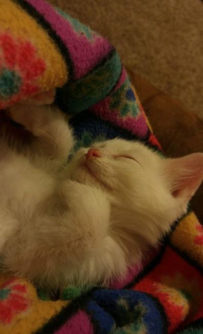 shiro the kitten 7