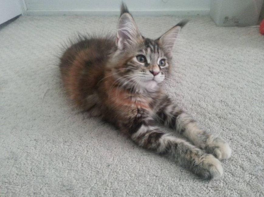 maine coon kitten big ears