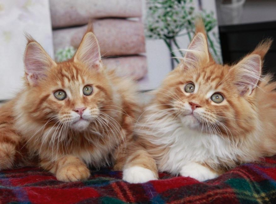 maine coon kittens brother and sister
