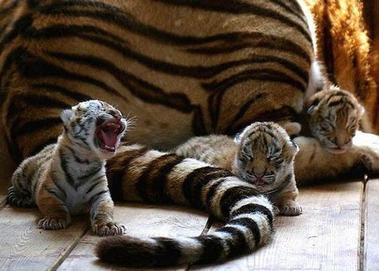 roaring kitten 12