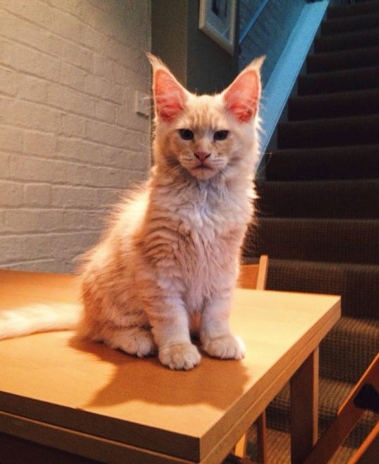 maine coon kitten orange and white