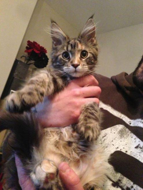 maine coon kitten held fluffy