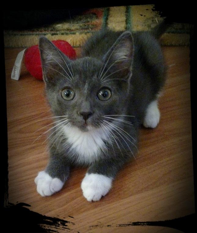 spunkee the foster kitten needs a home