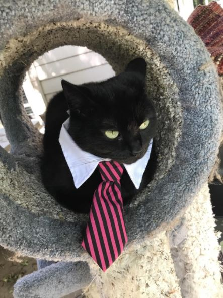 cats in business attire boss 8